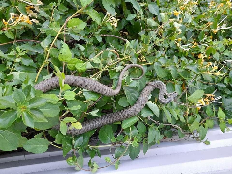 Змея в каушанах