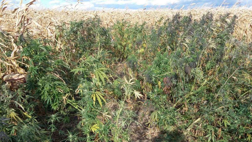 Марихуана из молдовы где растет конопля в челябинской области